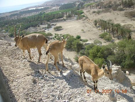 Иудейские пустынные козлики