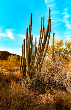 Organ Pipe Cactus Early Evening AAG