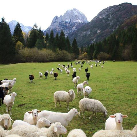 Sheep herds