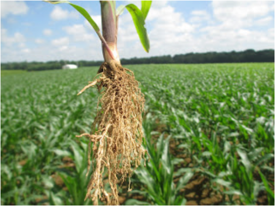 June Agronomy Update from Anderson's