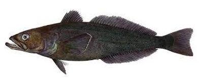 chilean sea bass image.jpg