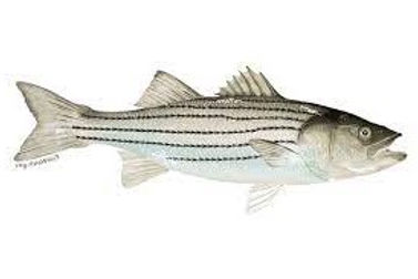 rockfish (striped bass) image-flipped.jpg