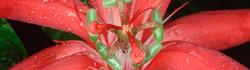 Red-Passion-Flower-Ecuador