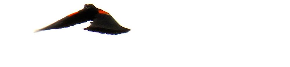 Blackbird Cry 2016