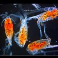 copepods