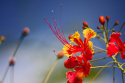 Flower from the Caribbean islands