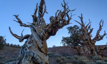 Bristlecone Pines #4