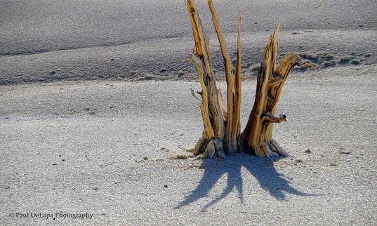 Bristlecone Pines #9
