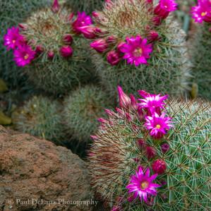 Cactus #3