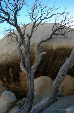 Joshua Tree #4