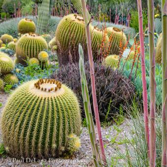 Cactus #7