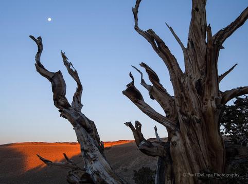 Bristlecone Pines #5