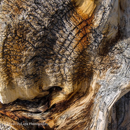Bristlecone Pines #8
