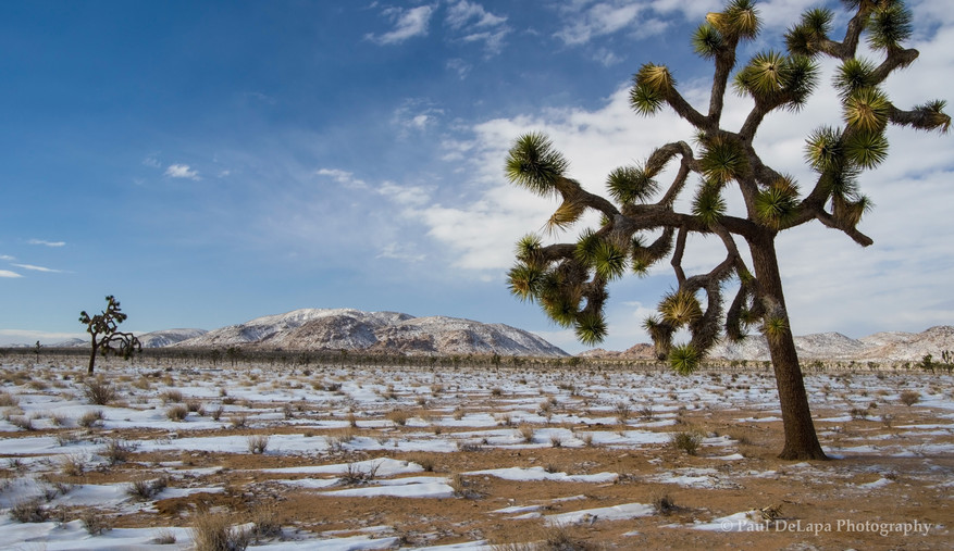 Joshua Snow-Tree #17