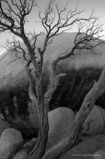 Joshua Tree bw #8