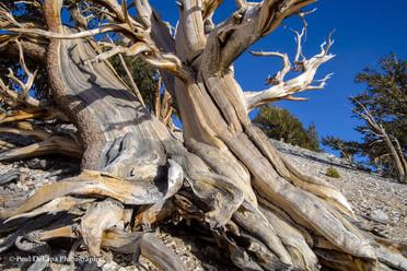 Bristlecone Pines #10