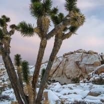 Joshua Snow-Tree #10