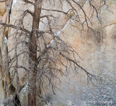 Joshua Snow-Tree #4