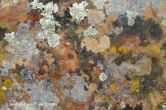 Lichen #13