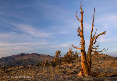 Bristlecone Pines #7