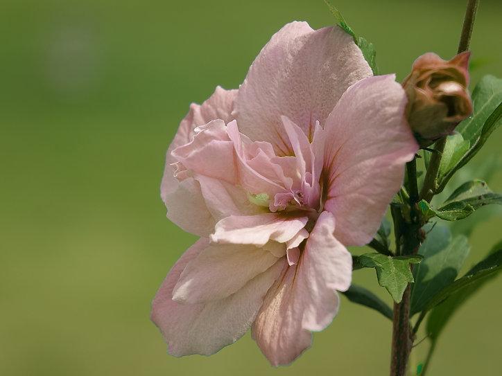 Hibiskus-Streifenbild.jpg