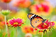 papillon sur une fleur.jpeg