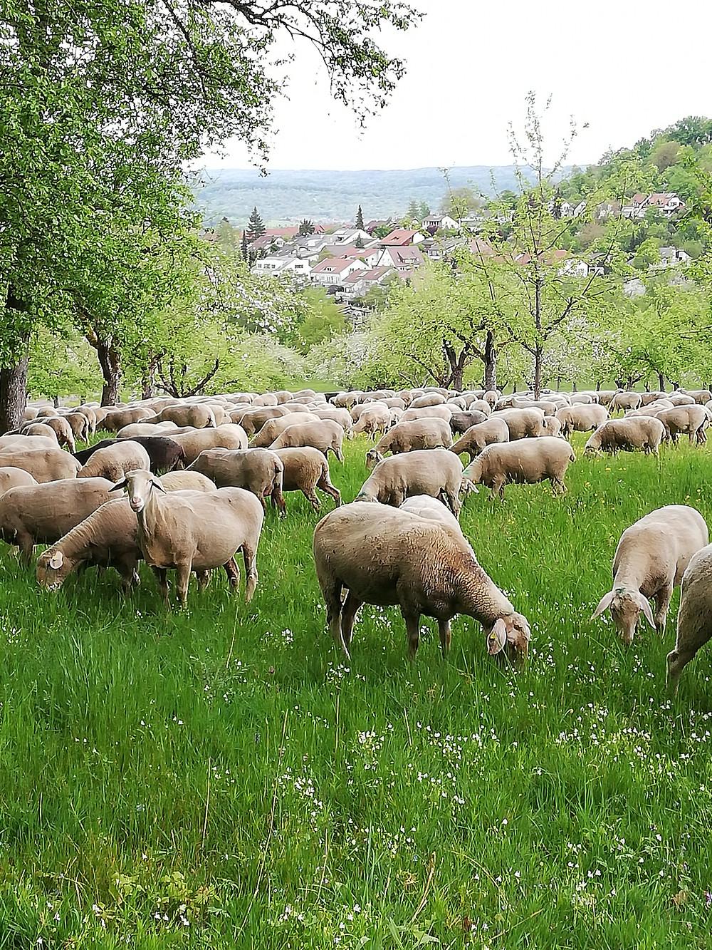 Schafsherde, anstatt Herdenimmunität. In der Natur tritt Corona in den Hintergrund