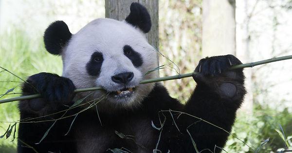Edingburgh Zoo's Panda eatin bamboo