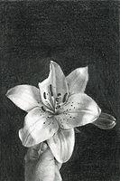 aleksandra kalisz, lili, pencil on paper