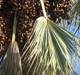 Makalani Palm Tree.jpg
