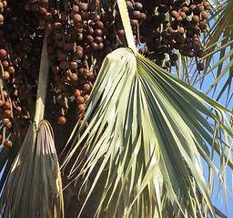 Makalani Palm Tree.jpg