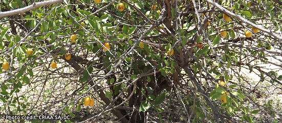 08 Desert Secrets Ximenia americana sour