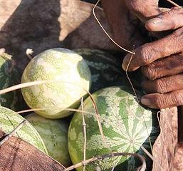 Tsamma Melon Seed Oil.jpg