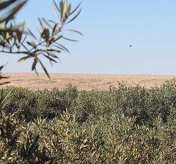 Namibian Olives.jpg