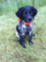 Epagneul Breton puppies for sale