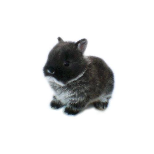 Black Otter - Conejo Enano Holandes