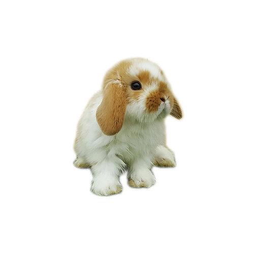 Moteado - Conejo MiniLop