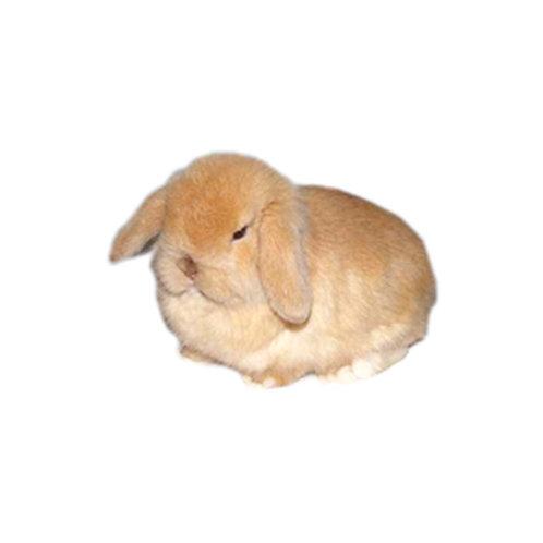 Beige - Conejo MiniLop