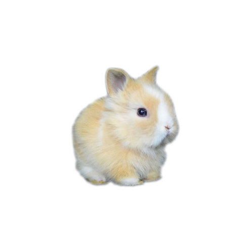 Dutch - Conejo MiniLeón