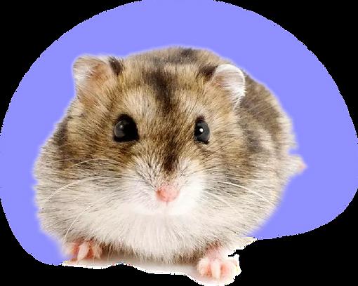 hamster_sirio.png