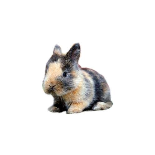 Arlequín - Conejo Enano Holandes
