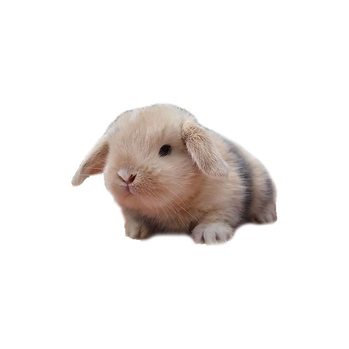 Arlequín - Conejo MiniLop