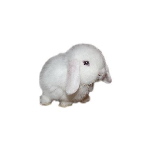 Albino - Conejo MiniLop