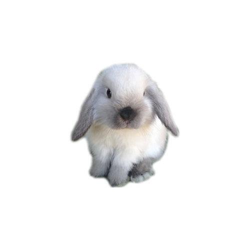 Smoke Pearl - Conejo MiniLop
