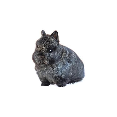 Black - Conejo Enano Holandes