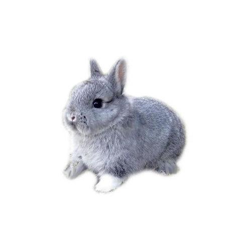 Gray - Conejo Enano Holandes