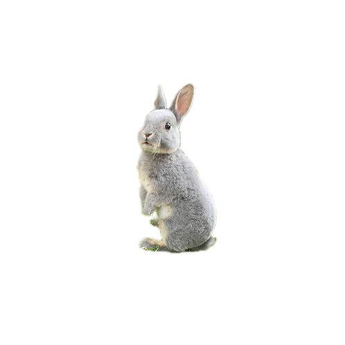 Rex Plomo - Conejo MiniRex