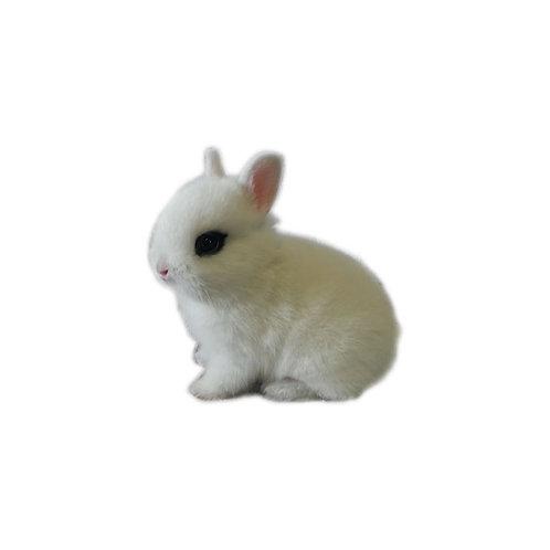 Anteojos - Conejo Enano Holandes