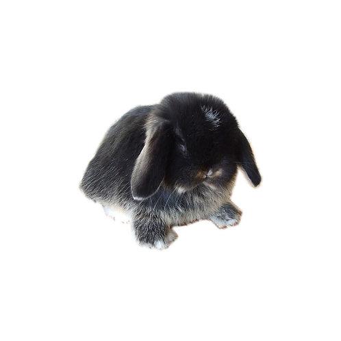 Black Otter - Conejo MiniLop