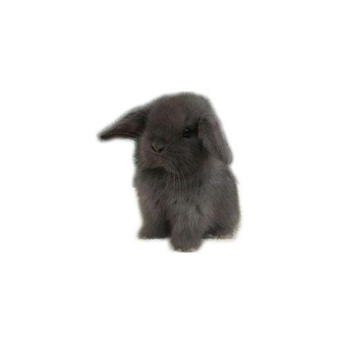 Black - Conejo MiniLop